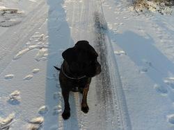 Tanya, chien Cane Corso