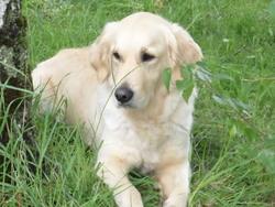 Tanya, chien Golden Retriever
