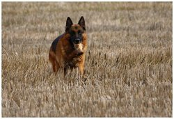 Tao, chien Berger allemand