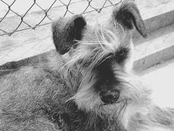 Tao, chien Schnauzer