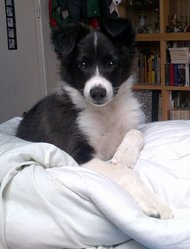 Tao, chien Border Collie