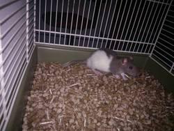 Tao, rongeur Rat