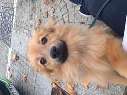 Tao, chien Spitz allemand