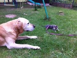 Tao Au Paradi, chien Labrador Retriever
