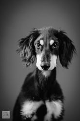Taouk, chien Saluki