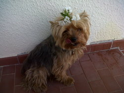 Tapioca, chien
