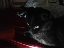 Taquita, chat Angora turc