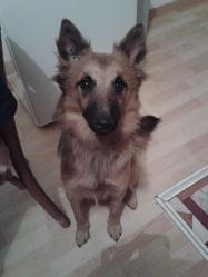 Tara, chien Berger belge