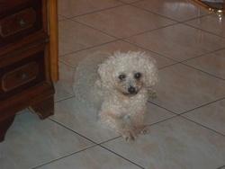 Tara, chien Bichon à poil frisé