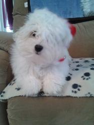 Tara, chien Coton de Tuléar