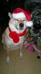 Tara, chien Shiba Inu
