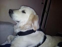 Tara, chien Golden Retriever