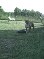 Tara Paradi's Butterfly, chien American Staffordshire Terrier