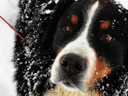 Tara Du Clos , chien Bouvier bernois