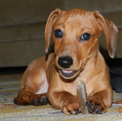 Tara, chien Teckel