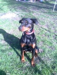 Tara, chien Dobermann