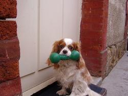 Tara , chien Cavalier King Charles Spaniel