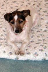 Tara, chien Jack Russell Terrier