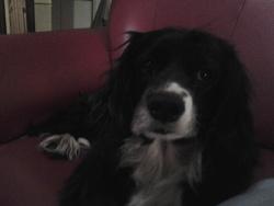 Tara, chien Cocker anglais