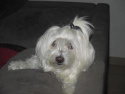 Tara, chien Bichon maltais