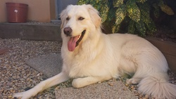 Tarah, chien Chien de montagne des Pyrénées