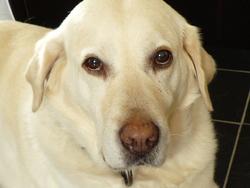 Tarah, chien Labrador Retriever