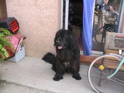 Helliot, chien Saint-Bernard