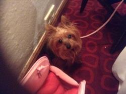Tarentelle, chien Yorkshire Terrier