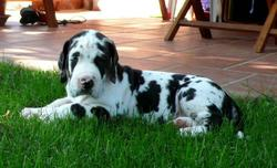 Tarmak, chien Dogue allemand