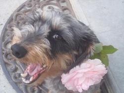Tartine, chien Teckel