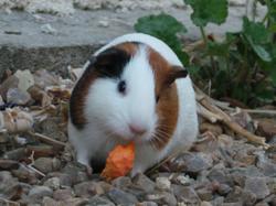 Tartine, rongeur Cochon d'Inde