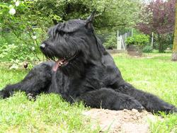 Tarzan De La Haute Gye, chien Schnauzer