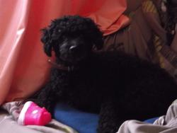 Tasko, chien Caniche