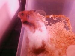 Tatame, rongeur Hamster