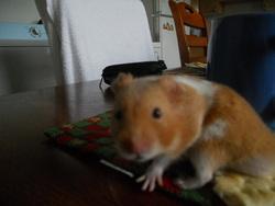 Tatico, rongeur Hamster