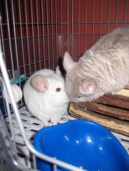 Tatine, rongeur Chinchilla