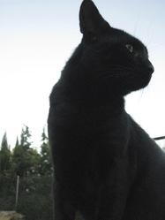 Tato Baloo, chat Européen