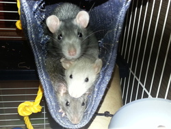 Tatouille, rongeur Rat