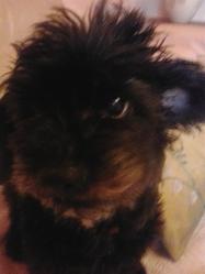 Tatoum, chien Caniche