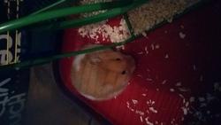 Tats, rongeur Hamster