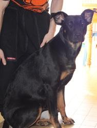 Tawa, chien Beauceron