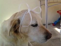 Taya, chien Labrador Retriever