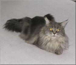 Taya De L'Ile De Tiaré, chat Maine Coon