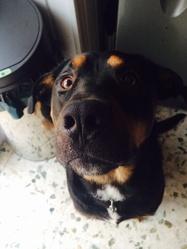 Taybo, chien Beauceron