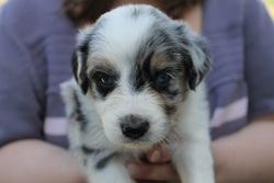 Tayka, chien Border Collie