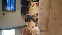 Tayler , chien Boxer
