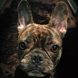 Taylor, chien Bouledogue français