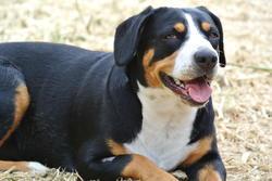 Tayna Of Adventure , chien Bouvier de l'Entlebuch