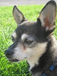 Tayr , chien Chihuahua