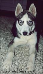 Tayra, chien Husky sibérien